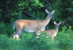 white tailed deer temperate deciduous forest